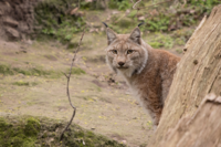 Luchs_Carly.png